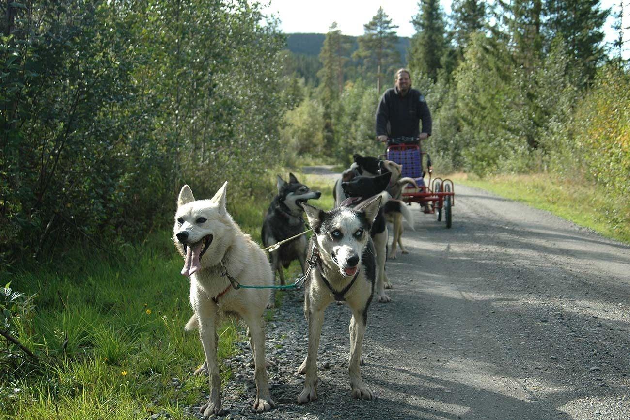 Hundekjøring på hjul