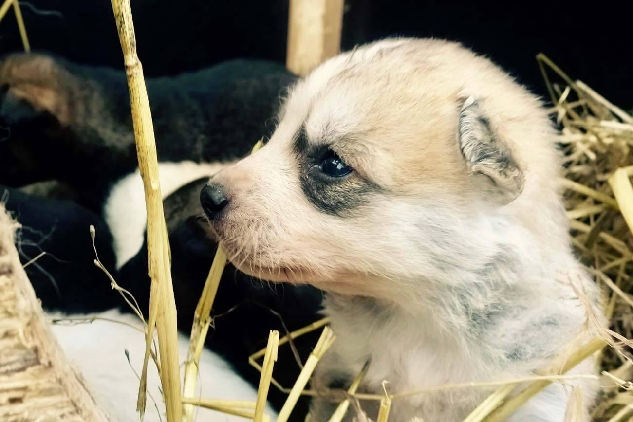 Puppy Training / Beito Husky Tours