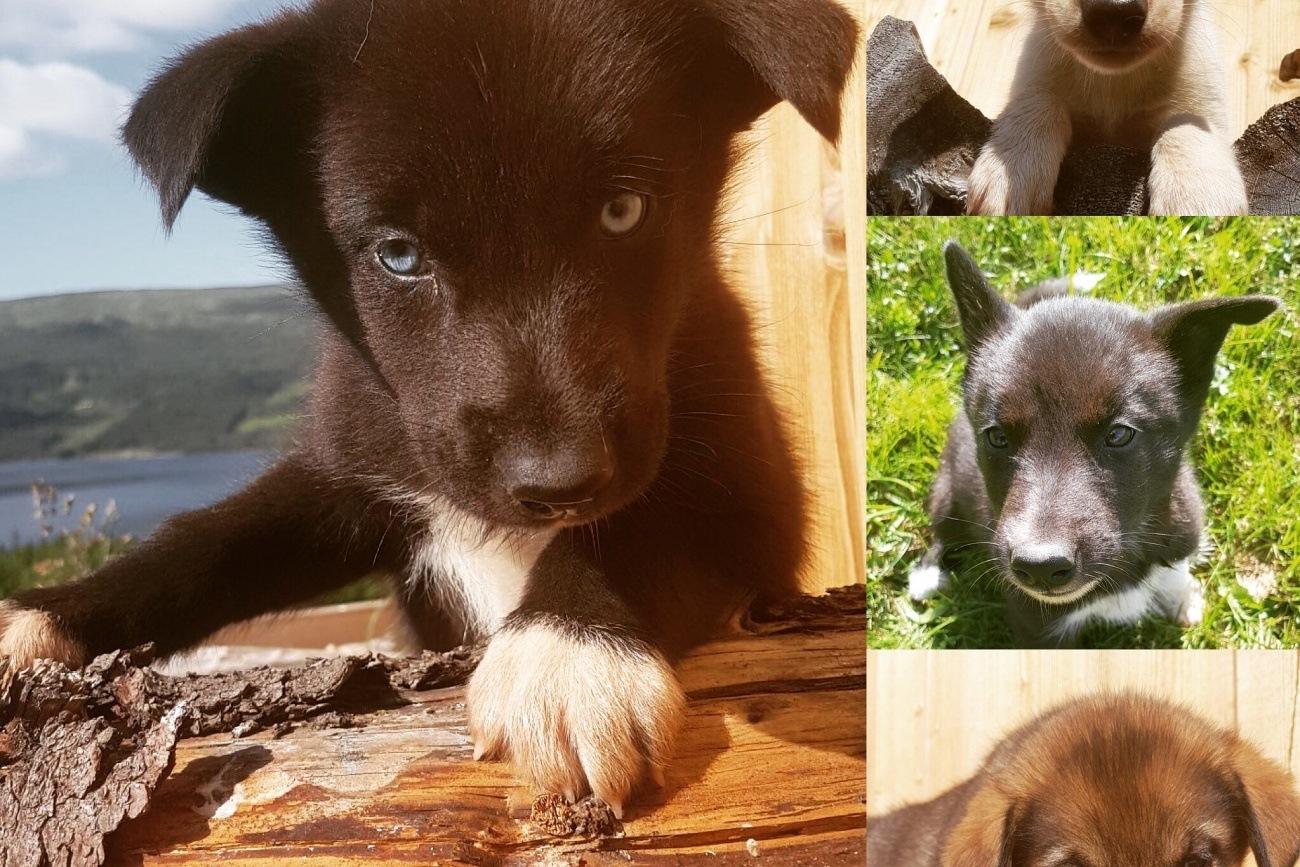 Husky puppies | Beito Husky Tours