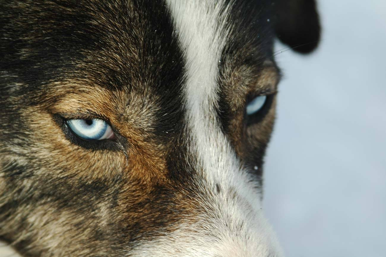 Beautiful blue eyed husky male | Beito Husky Tours